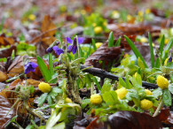 Violets and yellow Winter aconite