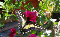 july_swallowtail