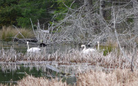 Trumpeter Swans in Central Park