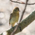 Pacific Slope Flycatcher, Empidonax difficilis