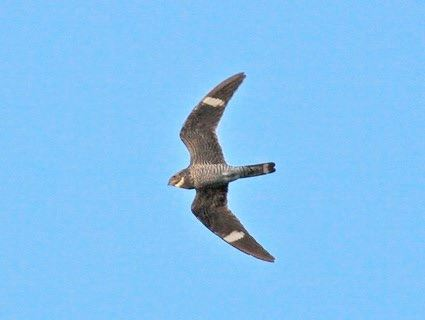 Common Nighthawk, Chordeiles acutipennis Photo: Bruno P, allaboutbirds.org